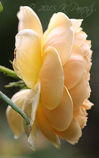 DA 'Crown Princess Margareta6'