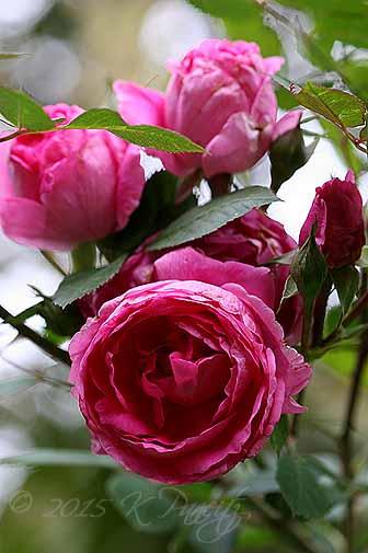 Pink Shrub Roses5
