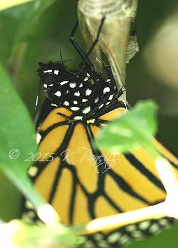 Monarch butterfly4