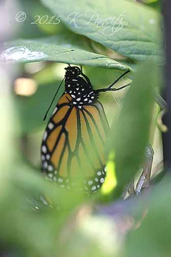 Monarch butterfly9