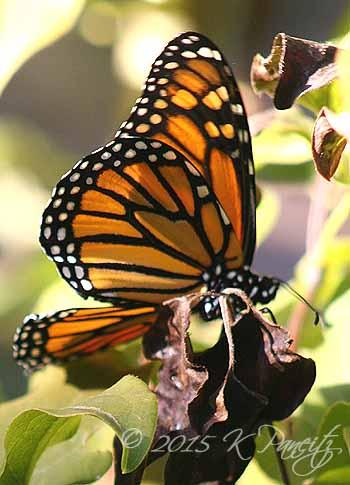 Monarch butterfly7