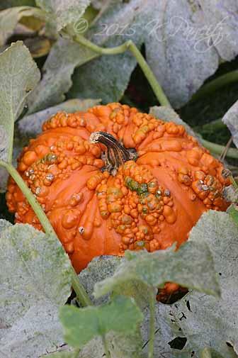 Zucchini foliage & pumpkin