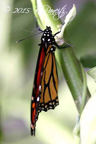 Monarch butterfly14