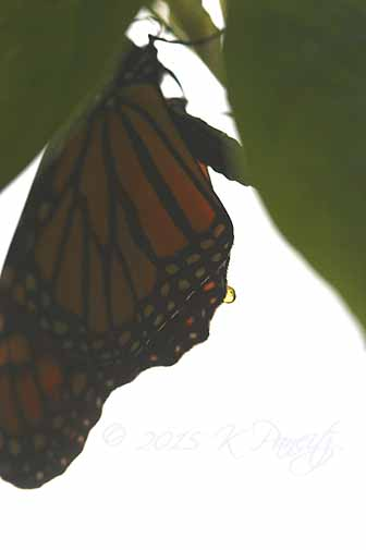 Monarch butterfly16