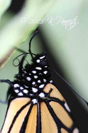 Monarch butterfly15