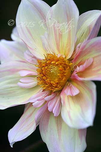 Dahlia 'Apple Blossom5'