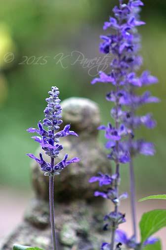 Salvia Farinacea 'Victorian Blue'