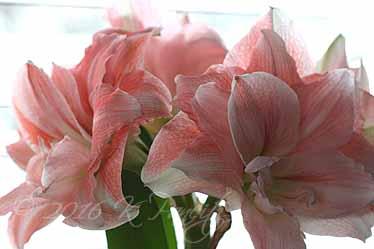 Amaryllis 'Pink Glory10'