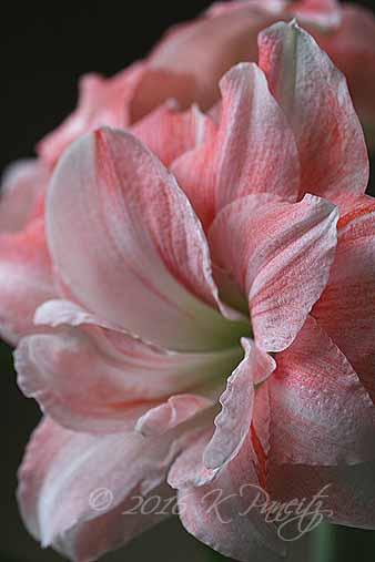 Amaryllis 'Pink Glory11'