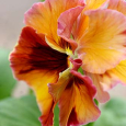 Pansy 'Chianti Mix1'