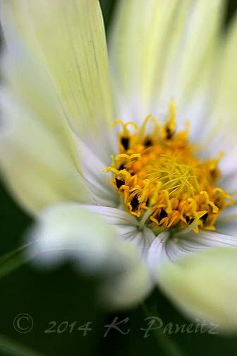 Cosmos bipinnatus 'Yellow Garden1'