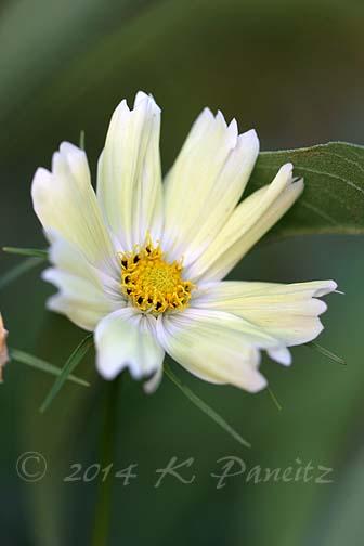 Cosmos bipinnatus 'Yellow Garden2'