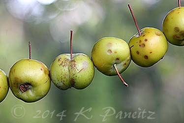 Apple garland1