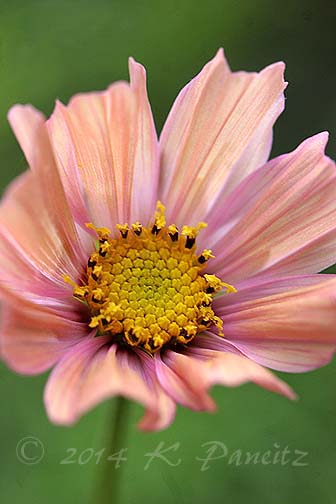 Cosmos 'Apricot3'