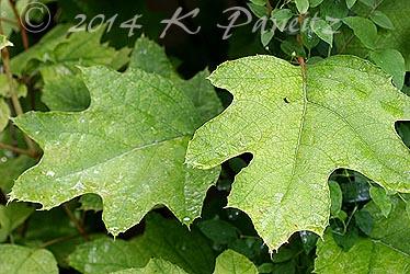 Oakleaf  Hydrangea leaves