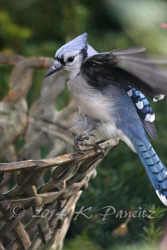 Blue Jay1