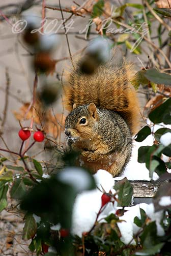 Red Fox Squirrel2