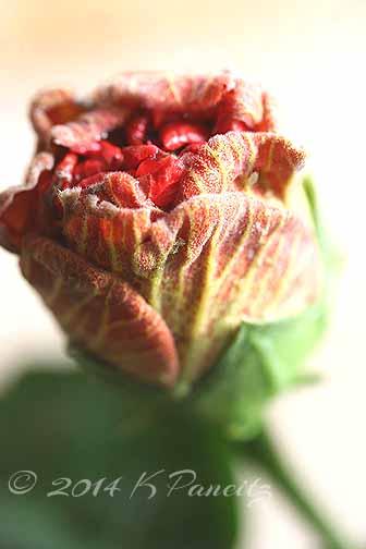 Hibiscus 'Persimmon'