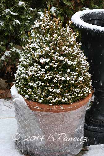 Snow covered boxwoods