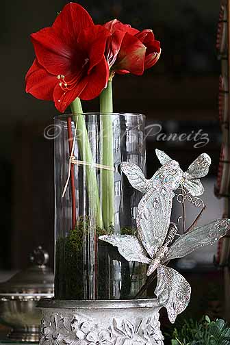 Amaryllis 'Red Lion1'