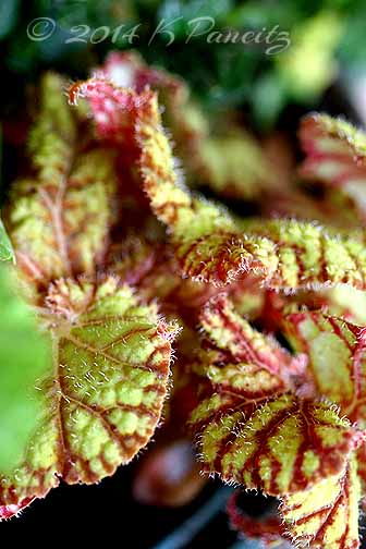 Rex Begonia 'Northern Lights'