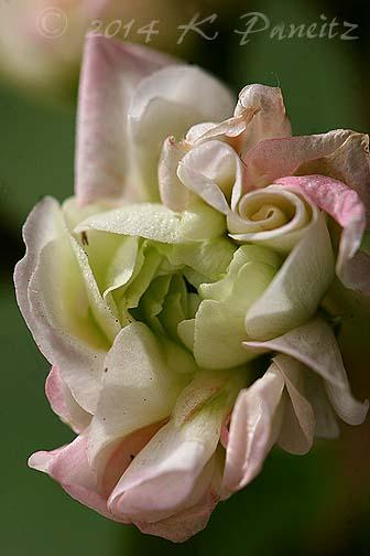 Pelargonium 'Apple Blossom Rosebud5'