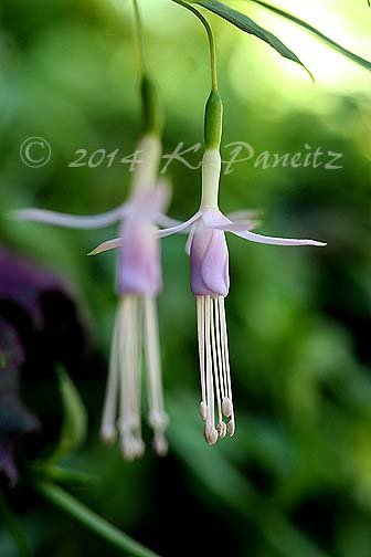 Fuchsia magellanica 'Lady's Eardrops'