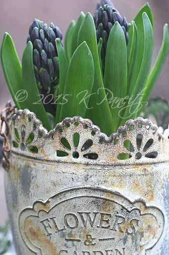 Forced hyacinths6