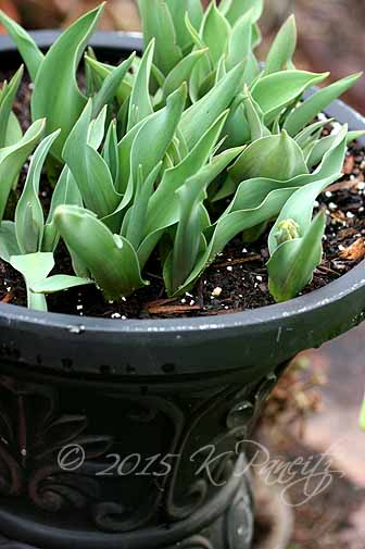 Tulip Urn
