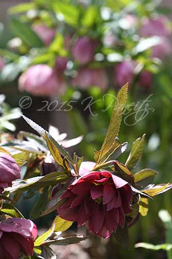 Hellebore 'Kingston Cardinal'