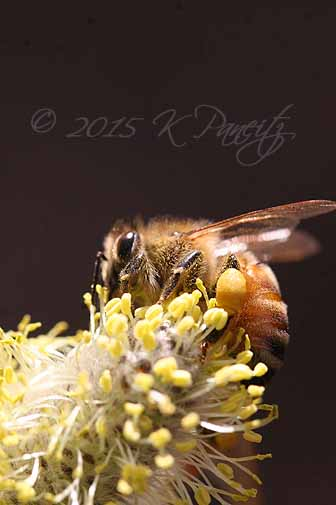 Bee on Pussy Willow bloom3
