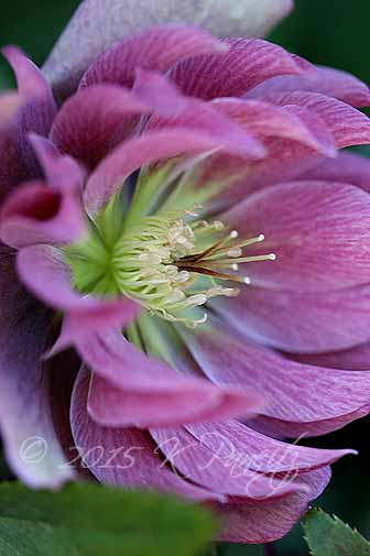 Hellebore 'Kingston Cardinal1'