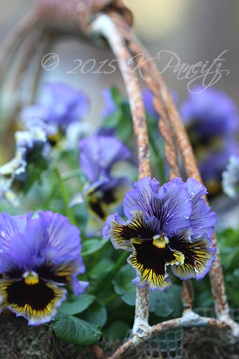 'Frizzle Sizzle' Pansy Basket7