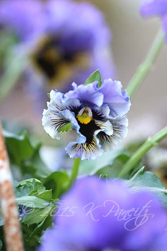 'Frizzle Sizzle' Pansy Basket3