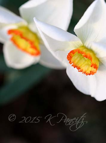 Narcissi 'Dreamlight'
