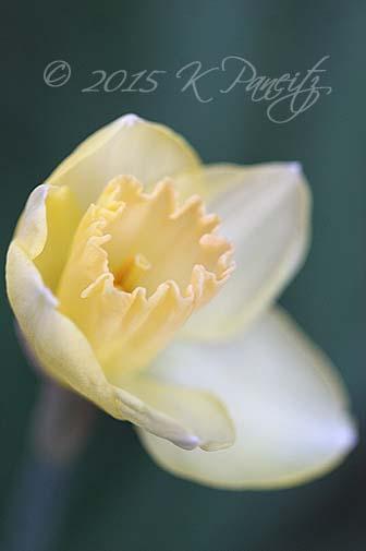 Narcissi '
