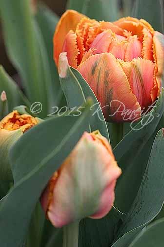 Tulip 'Sensual Touch'