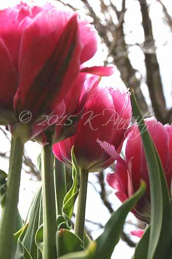 Tulip 'Mascotte3'