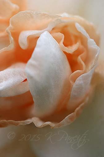 Narcissi 'Flower Parade2'