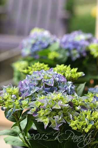 Hydrangea 'Hortensia Early Blue'