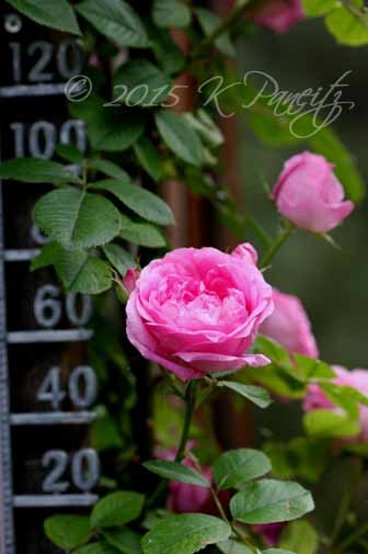 Pink Roses & Thermometer2