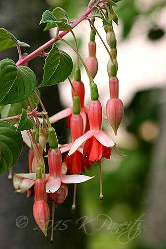 Fuchsia 'Hidcote Beauty4'