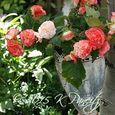Begonia 'Rose Petticoat1'