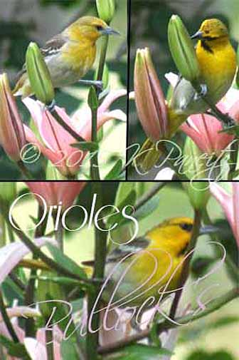 Asiatic Lily & Orioles2