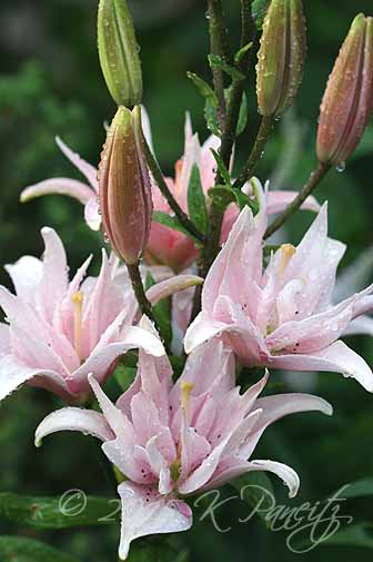 Asiatic Lily 'Elodie20'