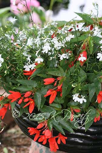 2015 Begonia Bossa Container2