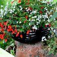 2015 Begonia Bossa Container3