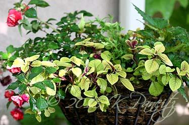 Plectranthus 'Troys Gold' Basket1