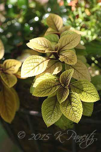 Plectranthus 'Troys Gold1'