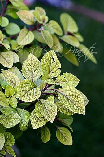 Plectranthus 'Troys Gold4'